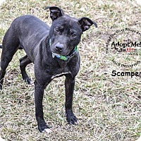 Pit Bull Terrier Mix Dog for adoption in River Rouge, Michigan - Scamper