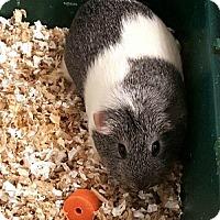 Adopt A Pet :: Pebbles - Newark, DE