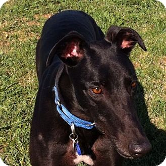 Greyhound Dog for adoption in Bethalto, Illinois - Bella Zander