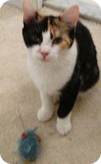 Domestic Shorthair Cat for adoption in Reston, Virginia - Marta