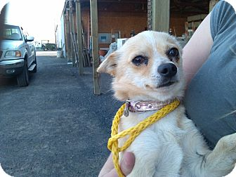 Chihuahua Mix Dog for adoption in Kirkland, Washington - Taco - very quiet & sweet boy