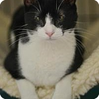 American Shorthair Cat for adoption in New Orleans, Louisiana - ChaChi