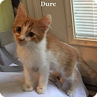 Adopt A Pet :: Durc - Bentonville, AR