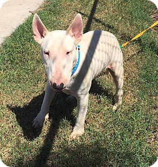 Bull Terrier Dog for adoption in Houston, Texas - Lucky Eddie