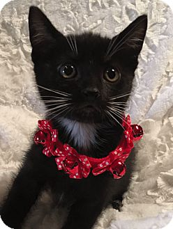 Domestic Shorthair Kitten for adoption in El Dorado Hills, California - Faline