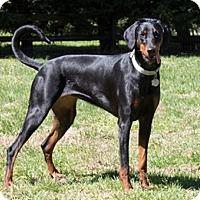 Adopt A Pet :: DANNI - Greensboro, NC