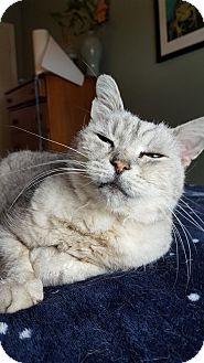 British Shorthair Cat for adoption in Bensalem, Pennsylvania - Bear