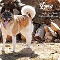 Adopt A Pet :: Lovey - Toms River, NJ