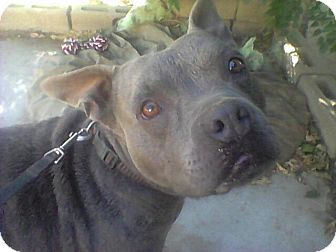 American Pit Bull Terrier/English Bulldog Mix Dog for adoption in Bellflower, California - Bonnie Blue