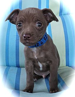 Terrier (Unknown Type, Small)/Chihuahua Mix Puppy for adoption in Studio City, California - Sammy Davis Jr.