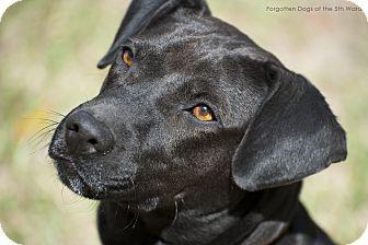 Labrador Retriever Mix Dog for adoption in Houston, Texas - Mamba
