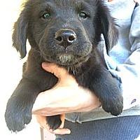 Adopt A Pet :: Comet - Fort Valley, GA