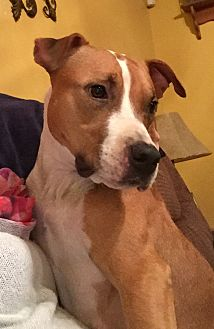 American Staffordshire Terrier Mix Dog for adoption in fredericksburg, Virginia - Avery