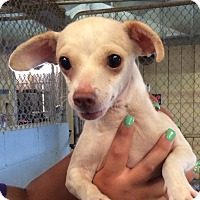 Chihuahua/Italian Greyhound Mix Dog for adoption in El Centro, California - Twinkie