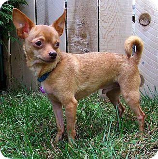 Chihuahua Dog for adoption in Bridgeton, Missouri - Tex-ADOPTION PENDING