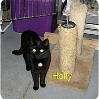Domestic Shorthair Cat for adoption in New Carlisle, Ohio - Holly