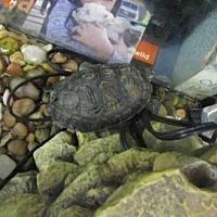 Adopt A Pet :: CHARLIE - Burbank, CA