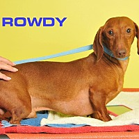 Adopt A Pet :: Rowdy - Colmar, PA