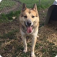 Adopt A Pet :: SARGE-ADOPTION PENDING - Amherst, OH