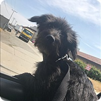 Terrier (Unknown Type, Small) Mix Puppy for adoption in Encino, California - Oreo