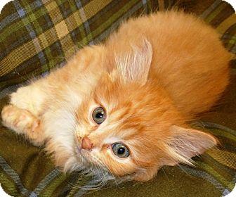 Domestic Shorthair Kitten for adoption in Kalamazoo, Michigan - Tabasco