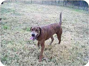 Labrador Retriever/Catahoula Leopard Dog Mix Dog for adoption in Kaufman, Texas - Sally