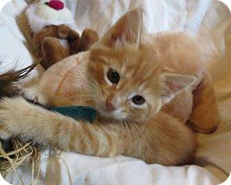 Domestic Shorthair Kitten for adoption in Geneseo, Illinois - Tate