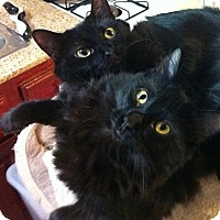 Adopt A Pet :: Lacey - Long Beach, CA