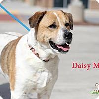 Adopt A Pet :: Daisy Mae - Alpharetta, GA