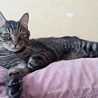 Domestic Shorthair Cat for adoption in Tucson, Arizona - Louie