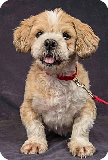 Shih Tzu/Poodle (Miniature) Mix Dog for adoption in Davis, California - Rambo