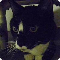 Adopt A Pet :: Cleopatra - Hamburg, NY