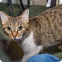 Adopt A Pet :: Bria - Cincinnati, OH