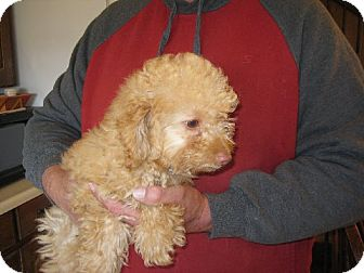 Poodle (Miniature) Puppy for adoption in Salem, New Hampshire - Neville Longbottom