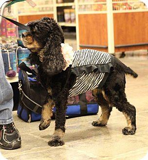 Cocker Spaniel Dog for adoption in Alpharetta, Georgia - Josie
