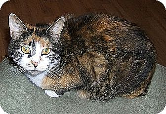 Domestic Shorthair Cat for adoption in Lenhartsville, Pennsylvania - Patches