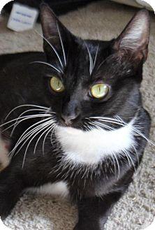 Domestic Shorthair Cat for adoption in HILLSBORO, Oregon - Suzie Q