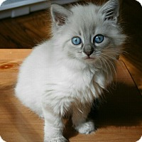 Adopt A Pet :: Opel - Davis, CA