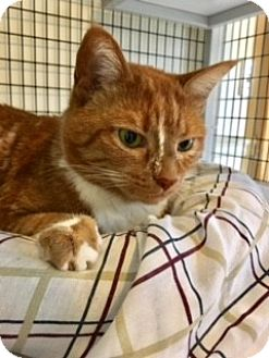 Domestic Shorthair Cat for adoption in Victor, New York - Cora