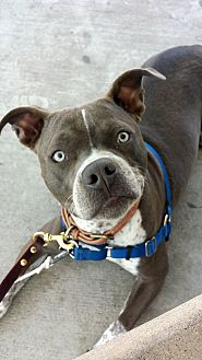 Boxer/American Staffordshire Terrier Mix Dog for adoption in La puente, California - Gemma