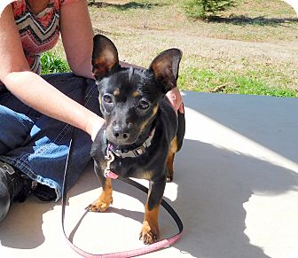 Chihuahua/Dachshund Mix Dog for adoption in North Wilkesboro, North Carolina - Izzy
