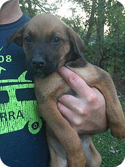 Shepherd (Unknown Type) Mix Puppy for adoption in Glastonbury, Connecticut - Fern~adoped!