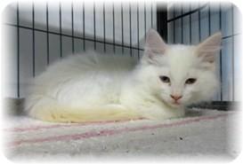 Siamese Kitten for adoption in Shelton, Washington - Virgil