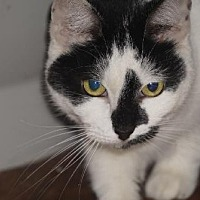 Domestic Shorthair Cat for adoption in Alexandria, Kentucky - Hailey