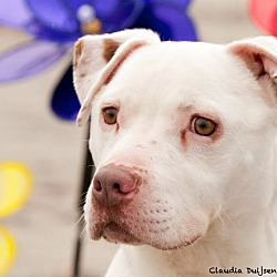 Photo 3 - American Pit Bull Terrier/American Bulldog Mix Dog for adoption in West Warwick, Rhode Island - Ghost - Updated!