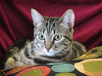 Domestic Shorthair Cat for adoption in Walnut Creek, California - Rose
