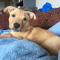 Labrador Retriever/German Shepherd Dog Mix Puppy for adoption in Long Beach, California - Nemo
