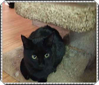 Domestic Shorthair Cat for adoption in Okotoks, Alberta - Panther