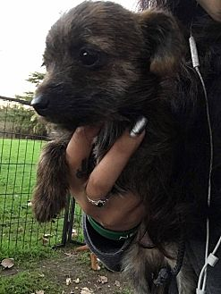 Terrier (Unknown Type, Small) Mix Puppy for adoption in Lodi, California - Uther