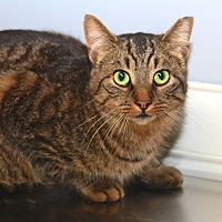 Adopt A Pet :: Tiger - Livonia, MI